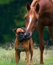 boxer dog quebec the 17 best images about boxers on pinterest dogs boxer puppies