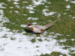 wild rooster pheasant with