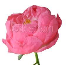bulk peonies buy fresh cut bulk pink coral peony flower at wholesale