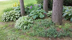 Day Lillies Our Garden Design With Hosta And Ground Cover