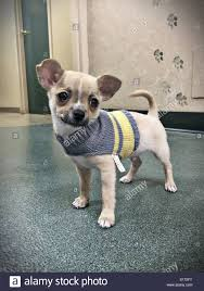 chihuahua puppy in a sweater on a chilly morning stock photo
