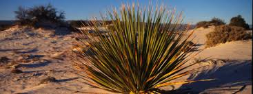 native desert plants chihuahuan desert places wwf
