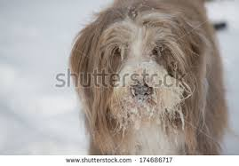 bearded collie brown bearded collie stock images royalty free images u0026 vectors