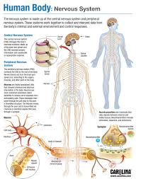 human body nervous system carolina com