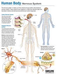 human body nervous system carolina com
