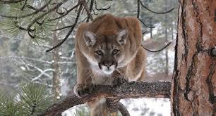Kentucky wildlife images First mountain lion in kentucky since civil war shot by wildlife jpg
