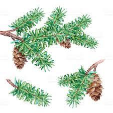 watercolor illustration conifer fir tree cones coniferous nature