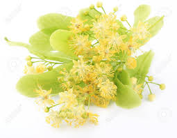 linden flower linden flowers isolated on white background stock photo picture