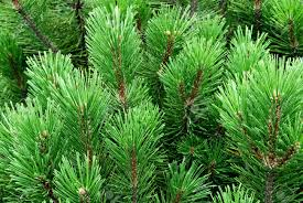pine tree cedar needles stock photo picture and royalty