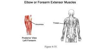 Shoulder And Arm Muscles Anatomy Baseball Swing Anatomy Shoulders Muscles Push And Pull To Swing