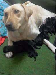 Black Lab Meme - i swear honey i m just as surprised as you are humor cute