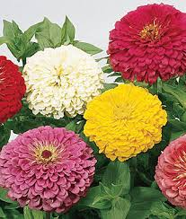 Zinnia Flowers Zinnia Seeds And Plants Bedding And Cut Flowers At Burpee Seeds