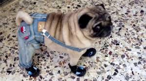 pug halloween costume for baby amazing dog pug walks in shoes and clothes youtube