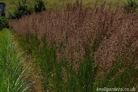 calamagrostis karl foerster knoll gardens ornamental grasses and