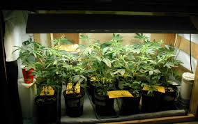 how much light do pot plants need happy cannabis plants made from clones under a grow light