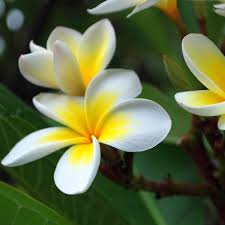 Very Fragrant Plants - the 5 most fragrant flowers for your kauai commercial property