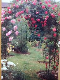 choosing a climbing rose gardening forum gardenersworld com