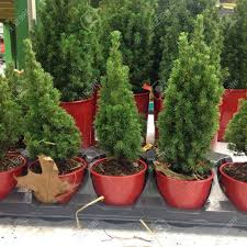 small fir trees in flower market stock photo picture and royalty