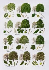 native plants names native trees broad leaved u2026 pinteres u2026