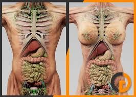 Images Female Anatomy Human Male Female Anatomy 3d Model Rockthe3d