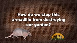 q u0026a how do i stop an armadillo from tearing up my garden youtube