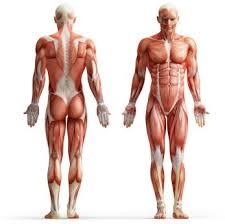 Human Anatomy Careers Human Biology Degree Human Biology Personal Statement Courses