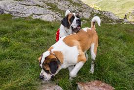 West Virginia How To Travel With A Dog images A brief history of the st bernard rescue dog travel smithsonian jpg
