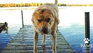 10 Tips For Taking Your by It U0027s That Time Of The Year 10 Tips For Taking Your Dog Swimming