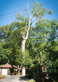 all about tree maintenance rick s tree service