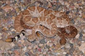living alongside wildlife why are these rattlesnakes piled on top