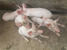 common pig breeds and selection of breeding stock pig production