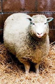 dolly debuts scientists clone first mammal a sheep in 1997 ny