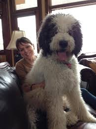 australian shepherd x poodle 21 unreal poodle cross breeds you have to see to believe