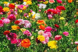 carlsbad flower garden carlsbad flower fields hope you like fresh air