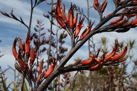native nz plants phormium tenax harakeke kauri park