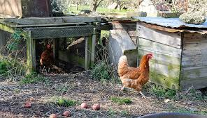 Chicken In Backyard 7 Things To Know Before Keeping Ducks In The City Hobby Farms