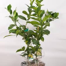 lemon trees for sale nature nursery