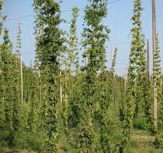dry hops field 2 field