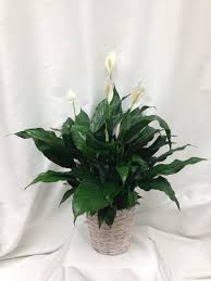peace lily peace lily basket sudbury flower delivery l lougheed flowers l