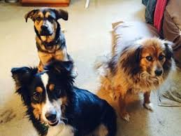 5280 australian shepherd lost pets near 43035 lewis center oh