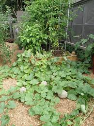 Chocolate Mint Bonnie Plants by Growing Cantaloupe And Honeydew Melons Bonnie Plants