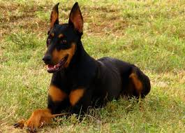 australian shepherd with german shepherd doberman shepherd doberman pinscher german shepherd mix info
