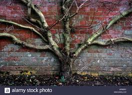 pear tree growing flat against brick wall stock photo