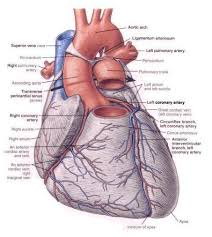 Heart Anatomy Arteries 12 The Blood Vessels Of The Heart Conducting System Innervation