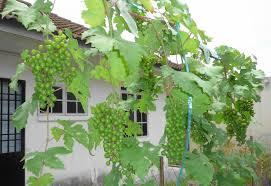 goodbye pergola hello trellis jon grapevines