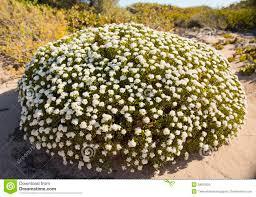 native australian plants native australian coastal dune plants stock photo image 62478651