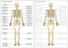 Anatomy Of Human Body Pdf Human Skeleton Diagram For Scientific Studies My Lights
