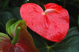 anthurium flower anthurium anthurium flower anthurium flowers