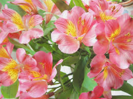 alstroemeria flower alstroemeria alstroemeria flower alstroemeria flowers carithers
