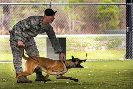 belgian shepherd malinois military 8 photos that show how a military working dog takes down bad guys